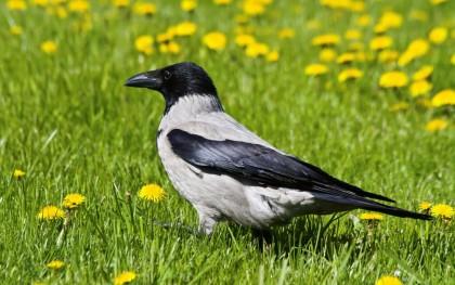 Crow-Dandelions-Grass-1800x2880[1]