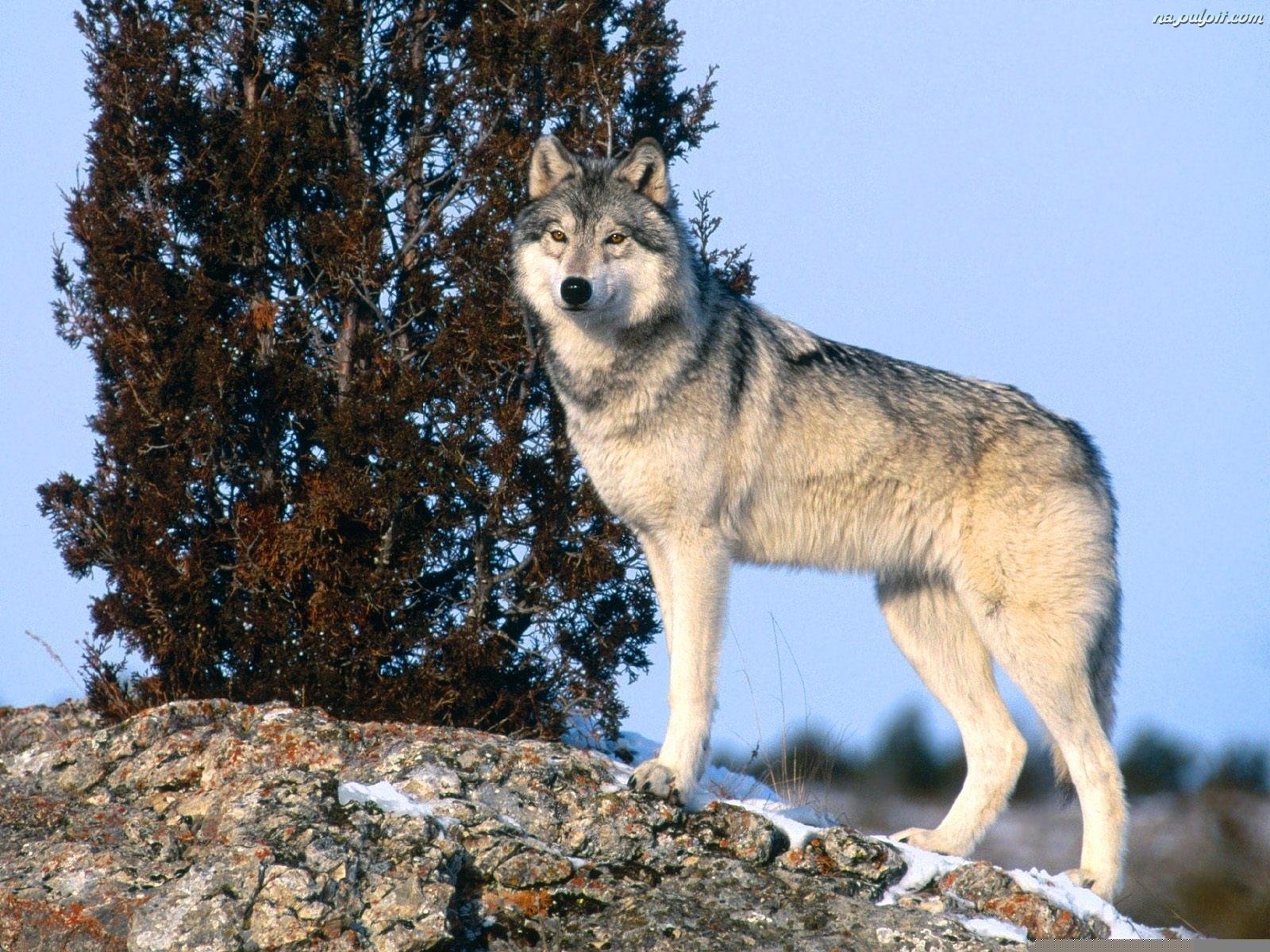 фото волка во весь рост картинки поможет избежать